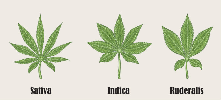 Sativa Indica Ruderalis cannabis co