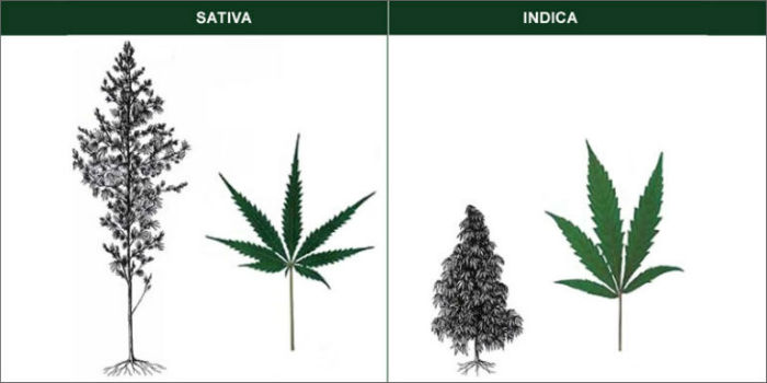 Sativa and Indica Plants